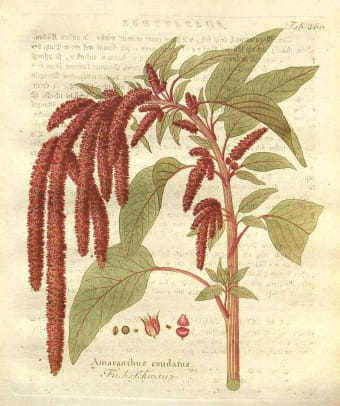 The highly stylized design interprets the forms and arcing drape of a favorite flower, Love Lies Bleeding, seen here in a vintage botanical print.