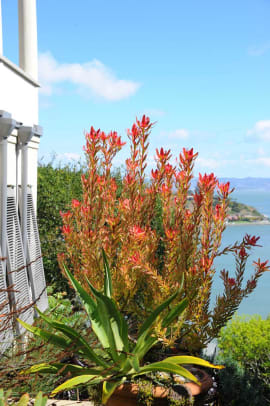 The fiery red of Safari Conebush (Leucadendron) 'Safari Sunset' is a hot spot beside the cool villa and blue water.