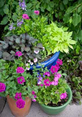 A container garden near the potting-shed door puts bright-color annuals on display: sweet-potato vines, geraniums, painted tongue (Salpiglossis).