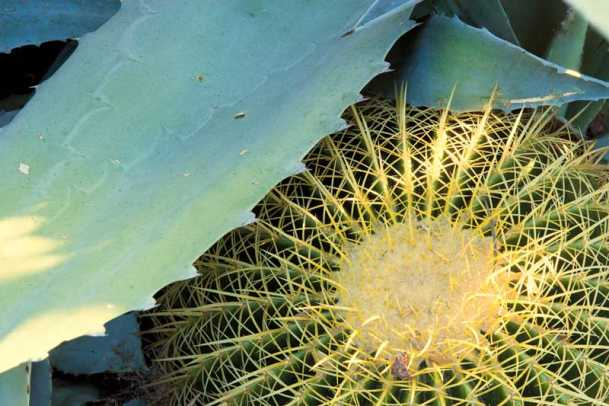 A blue agave leaf shelters a barrel cactus in the front garden.