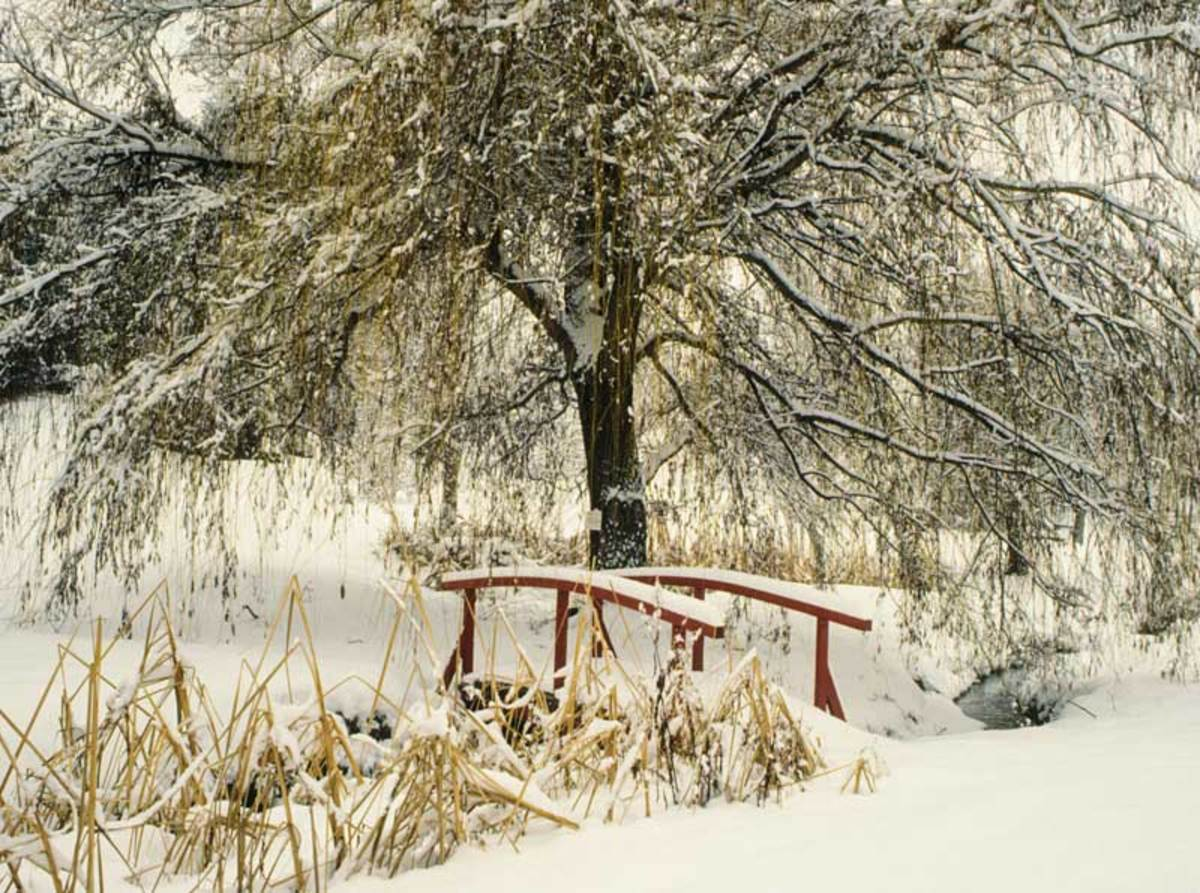 Snow draws attention to the willow and a red bridge in a private garden in British Columbia. Photo by Jerry Pavia