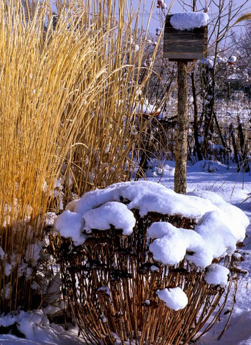 Grasses and stonecrop heads in the snow.