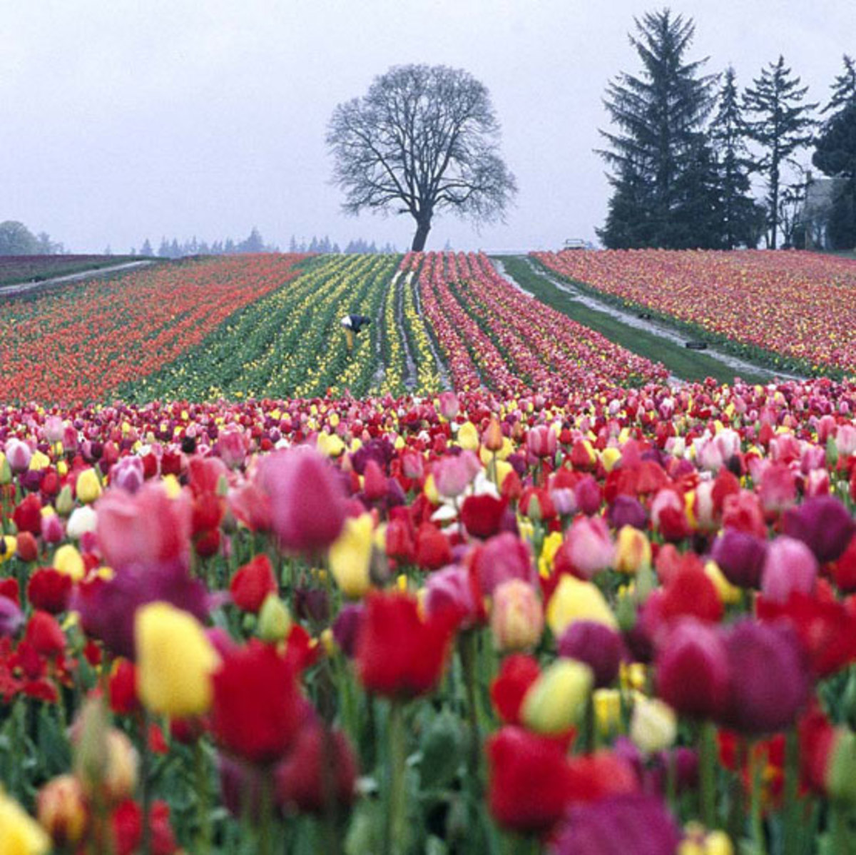 Near Woodburn, the Wooden Shoe Tulip Farm has acres of bright blooms.