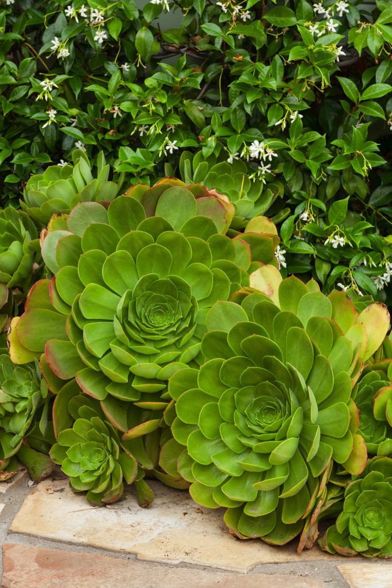 Aeonium (tree houseleek)