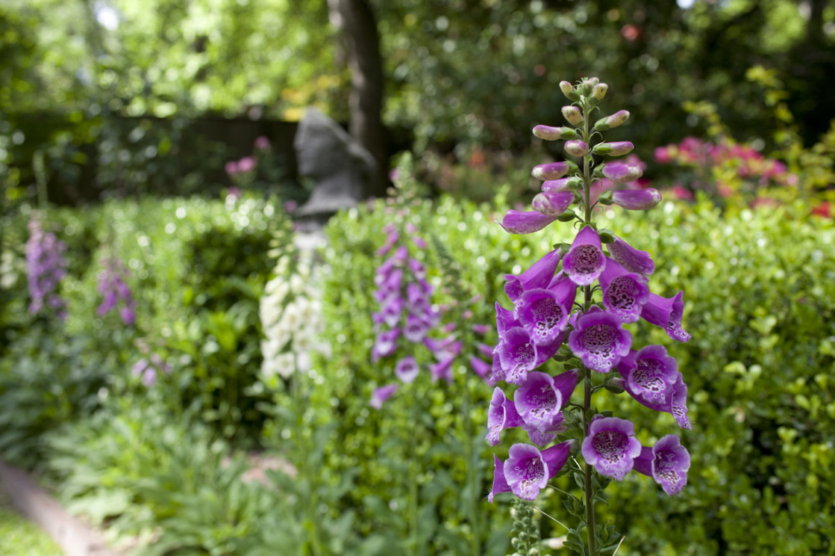 Purple and white foxgloves stand out against the green box hedge. With their rows of bells, foxgloves were associated with fairy music.